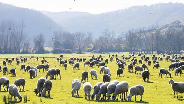 Koyunlar/Sheep